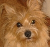 Norwich Terrier, 2 years old, champagne