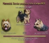Norwich Terrier, 9 days, black&tan