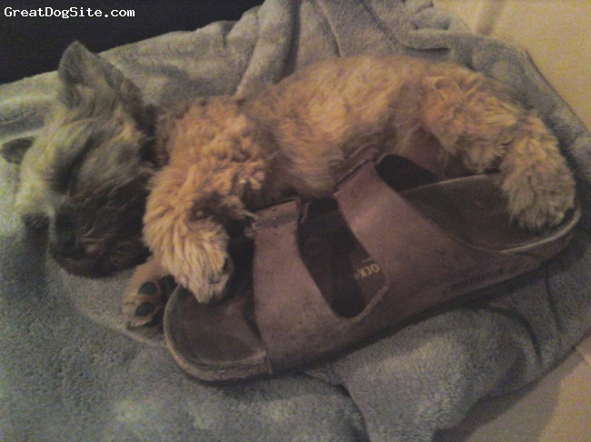 Norwich Terrier, 6 months, Grizzle and Tan, Quick snooze on Dad's shoe