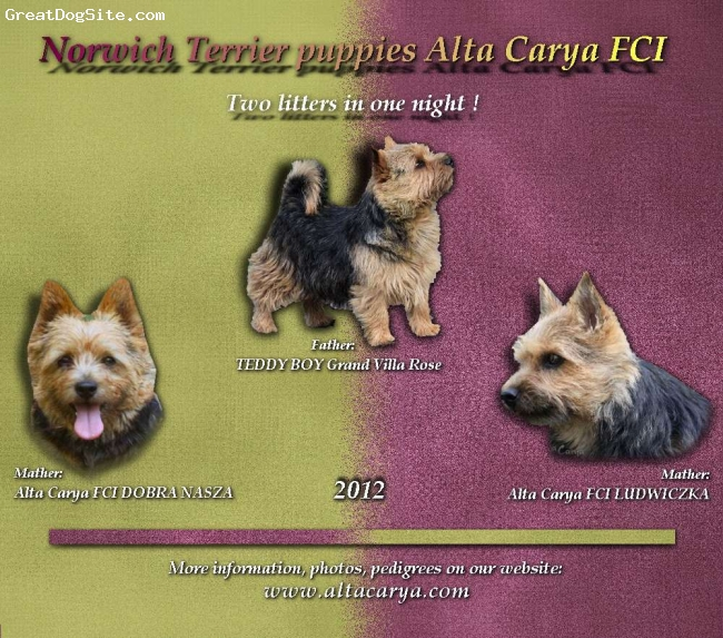 Norwich Terrier, 9 days, black&tan, Norwich Terrier puppies 2012 in Alta Carya FCI Kennel