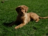 Nova Scotia Duck Tolling Retriever, 1, Red