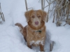 Nova Scotia Duck Tolling Retriever, 2 years, Red