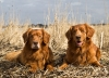 Nova Scotia Duck Tolling Retriever, 10 and 5, Red with white markings