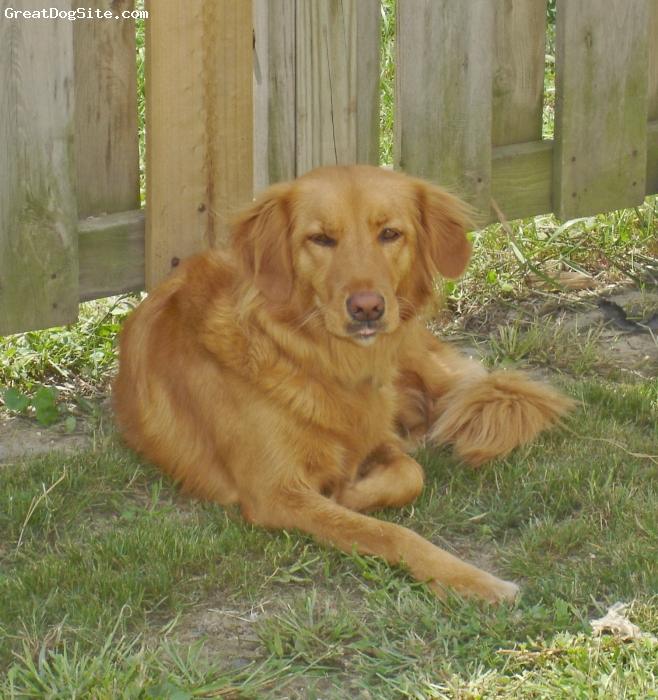 Nova Scotia Duck Tolling Retriever, 6, red, Hi...I am trying to determine if my beautiful Ariel is a Nova Scotia Duck Tolling Retriever or a Golden Retriever.  I thought you insightful folks may be able to shed some light on this for me.