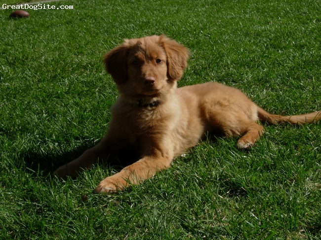 Nova Scotia Duck Tolling Retriever, 1, Red, Laying in the grass