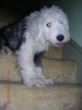 Old English Sheepdog, 1, grey/white