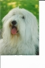 Old English Sheepdog, 3 years, Black/gray/white