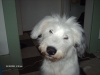 Old English Sheepdog, 8 months, white/gray