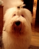Old English Sheepdog, 3, black -white