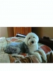Old English Sheepdog, 2, grizzle