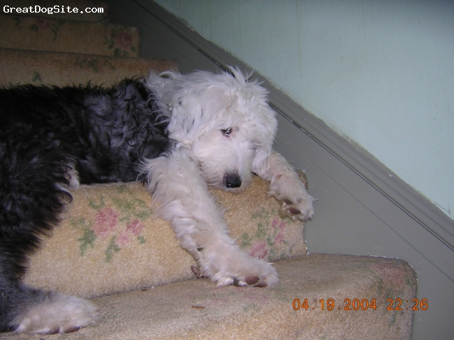 Old English Sheepdog, 1, grey/white, Rosie as a very young puppy