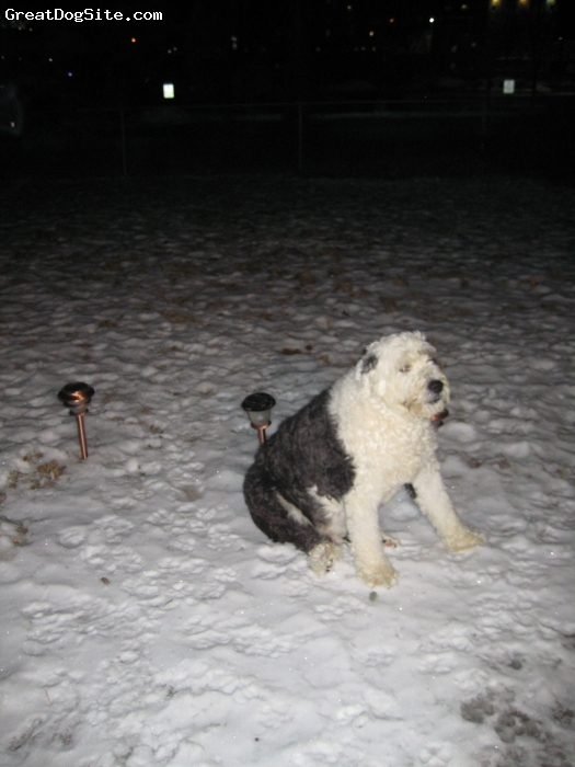 Old English Sheepdog, 7, blue/white, HE IS SO CUTE AND SWEET... LOVE HIM LIKE A CHILD...HE LOVES TO PLAY. AND GO IN THE CAR, ALTHOUGH HE IS NAUGHTY IN THE CAR... WOULDNT KNOW WHAT TO DO WITHOUT HIM