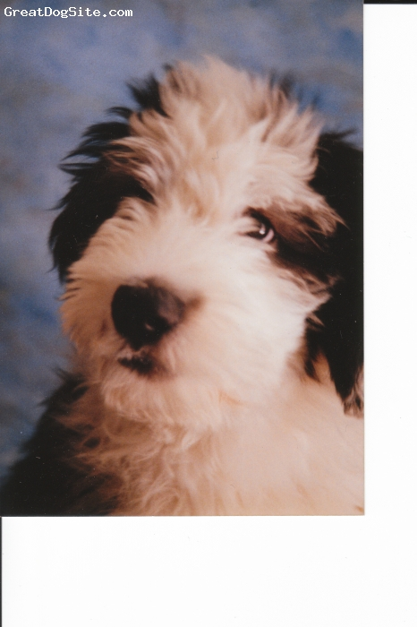 Old English Sheepdog, 6 months, Black/gray/white, Dickens was my third OES and I took this photo when I believe he was about 6 months old. Great dog, wonderful companion and buddy.