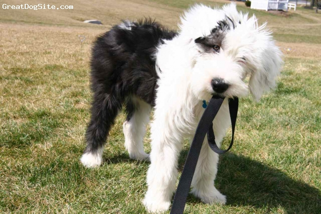 Old English Sheepdog, 3 months, White and Black, Winter likes to walk herself by taking her leash in her mouth.  This one is the strong independent type but very lovable.