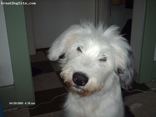Old English Sheepdog, 8 months, white/gray, i am a very loveable little clown.