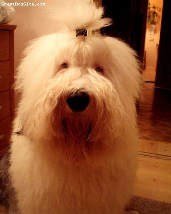 Old English Sheepdog, 3, black -white, Broki - Old English Sheepdog is a dog from Włochaty Urwis kennel.