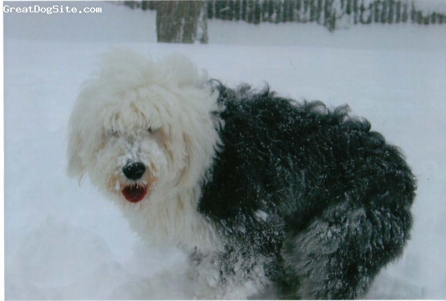 Old English Sheepdog, 2, grizzle, this is chloe...