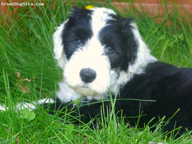 Old English Sheepdog, 8 weeks, blk & white, The new addition to our family