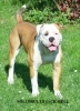 Olde English Bulldogge, 11 months, red/white