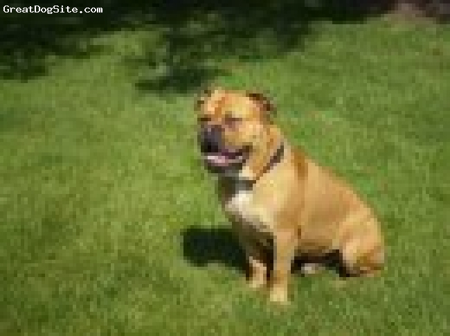 Olde English Bulldogge, 1yr, red and white, big d