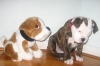 Olde Victorian Bulldogge, 3 months old, brindle/white
