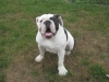Olde Victorian Bulldogge, 8 months, white with brindle patches