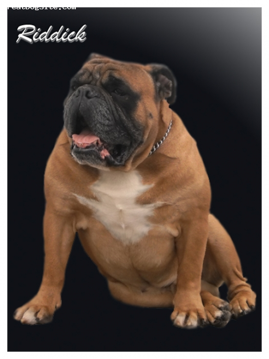 Olde Victorian Bulldogge, 6 years old, red fawn, Dozers Riddick of BDB's is own by BullDingue Bulldogge. He is a wonderful companion and a great example of OVB.