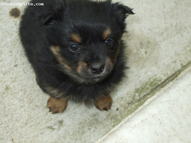 Papastzu, 1 month, Black with brown spots on it., Beatifull and active little puppy. It is lovely puppy will give you the company you need. Its Balck Terrier that you cant really find one anywhere.