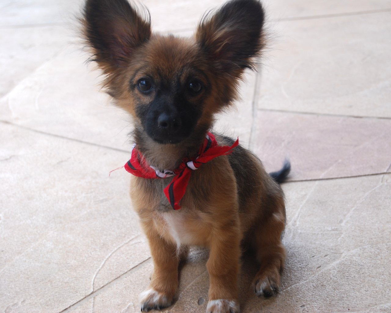 Dachshund papillon mix