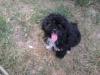 Papi-Poo, 6 months, black/ white