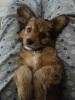 Papi-Poo, 10 weeks, Browny