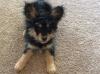 Papi-Poo, 15 weeks, Tri