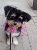 Papi-Poo, 14 months, black, tan, & white