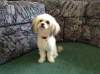 Papichon, 10 months, White with brown and black