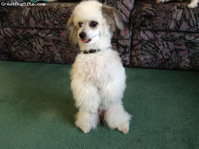 Papichon, 10 months, White with brown and black, Medium build with a thick coat.