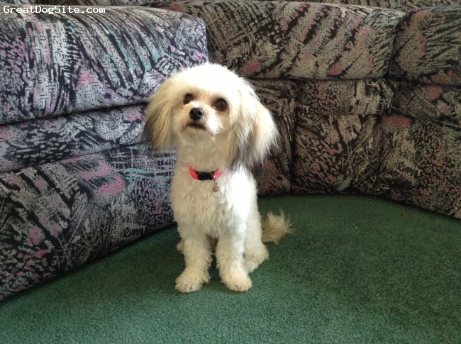 Papichon, 10 months, White with brown and black, Small build