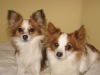 Papillon, 2, Sable white