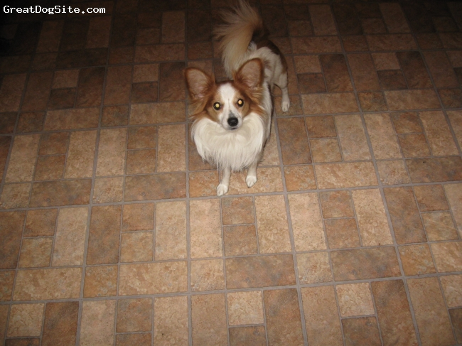 Papillon, 22 months, beige and white, My son