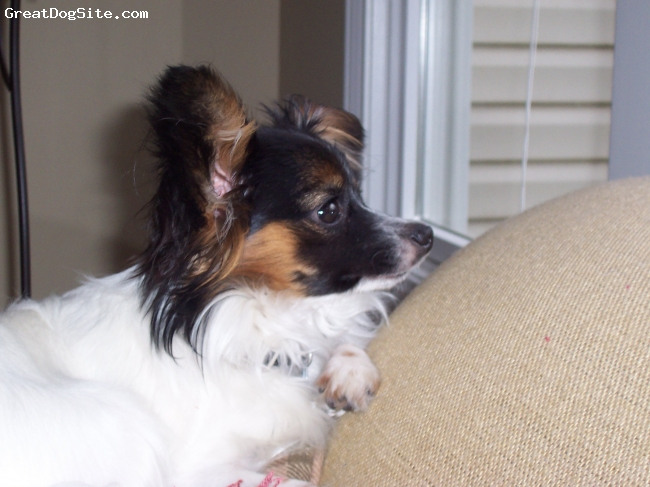 Papillon, 2, white and black, Smart, very much a baby