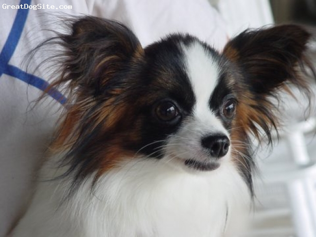 Papillon, 3, Sable white, He is quite a Looker!