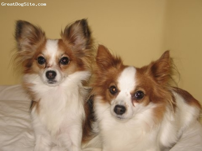 Papillon, 2, Sable white, My girls!