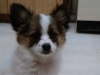 Papillon, 4 months, white,tan,brown