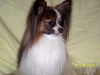 Papillon, 3, white / sable