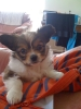 Papillon, 9 weeks, brown and white