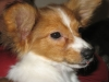 Papillon, 2 Months November 2008, Tri