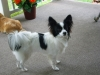 Papillon, 9 months, black and white