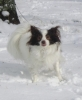 Papillon, 3 years, dark brown/white