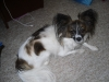Papillon, 6, WHITE/BROWN/BLACK