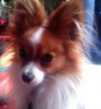 Papillon, 2 Years, Sable and White
