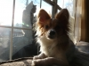 Papillon, 3.5 yrs, White Brown